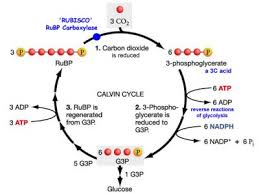 What Happens During The Light Dependent Reactions Of Photosynthesis Converting Light Energy To Chemical Energy U201cphotosynthesis U201d U2013 Info