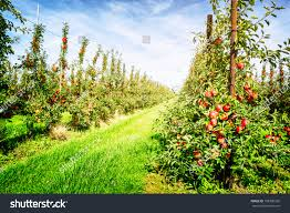 apple orchard sunny summer day stock photo 198700226 shutterstock