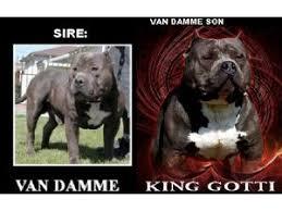 american pitbull terrier gotti razors edge american pit bull terrier puppies for sale puppy bully king gotti