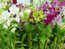 orchid plants for sale dendrobium orchid plants buy orchids plants product on