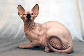 Muito Voce realmente sabia? | Sphynx: A exótica raça de gato sem pêlos #IN71