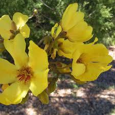 australian native plant seeds australian seed cochlospermum fraseri