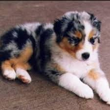 australian shepherd cattle dog mix best 25 australian shepherd poodle mix ideas on pinterest toy
