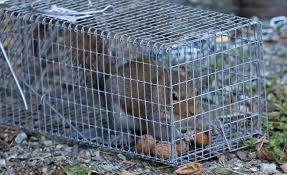 gabbie scoiattoli nervi la disfida degli scoiattoli gli americani vengono