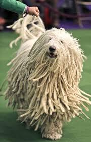 banana joe affenpinscher pedigree 170 best dog show images on pinterest dog show animals and dogs