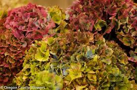 Hydrangea Flowers Antique Hydrangeas Wedding Design Oregon Coastal Flowers