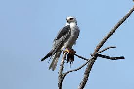 white tailed kite wikipedia
