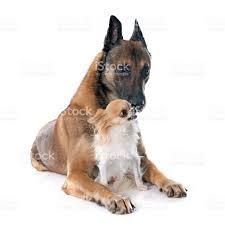 belgian sheepdog dog belgian shepherd dog and chihuahua stock photo 496888692 istock