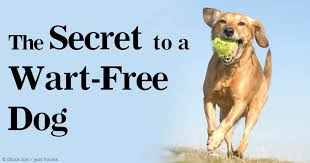 boxer dog gum problems free your dogs from warts or papillomas