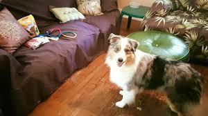 australian shepherd service dog think pawsitive pup positive dog training in southern wv va