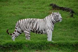 white tiger picture free stock photos 7 838 free stock