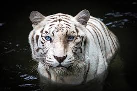 free white tiger images pictures and royalty free stock photos