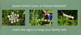 how to identify queen anne u0027s lace wild carrot dengarden