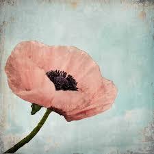 poppy home decor poppy flower nature photography pastel vintage print shabby