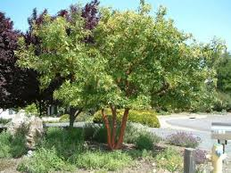 7 best ornamental tree for back yard images on