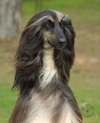 afghan hound and labrador retriever 2381 best favorite afghan hound dog videos u0026 pictures images on