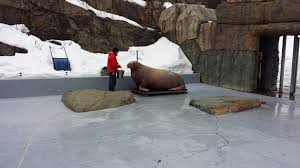 two walruses are pregnant in canada and the odds are against them