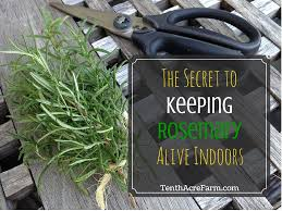 Easy Herbs To Grow Inside The Secret To Keeping Rosemary Alive Indoors Tenth Acre Farm