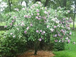 ornamental trees precision landscape management landscaping