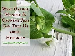 what gregor mendel u0026 growing peas can teach us about heredity