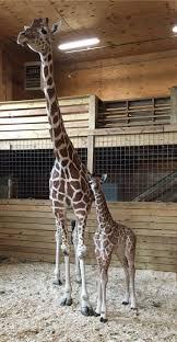 best 25 baby giraffes ideas on pinterest giraffes giraffe