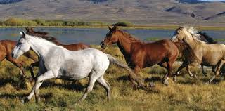 mustang adoption adopt a or burro aci