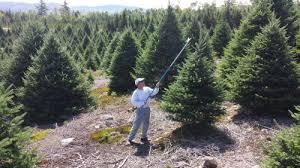 live christmas tree preparation set up and care