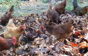 how long do chickens live lucygreenclean