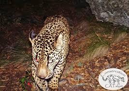wildlife officials video captures possible 2nd jaguar in us sfgate