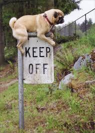 pug keep off sign funny dog birthday card by avanti press