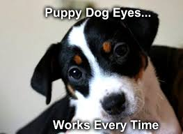 Puppy Dog Eyes Meme - puppy dog eyes talent hounds