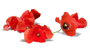 red flowers poppies closeup white background 2560x1440
