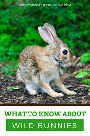 best 25 wild baby rabbits ideas on pinterest nature animals
