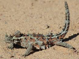 the most smiling reptile of the australian desert expert in water