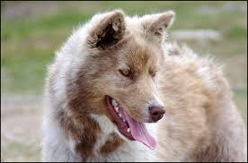 is a american eskimo dog right for me canadian eskimo dog