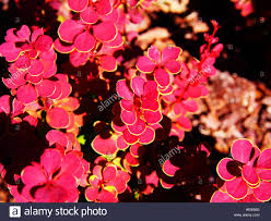 purple barberry stock photos u0026 purple barberry stock images alamy