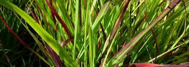 caring for cool and warm ornamental grasses grasses