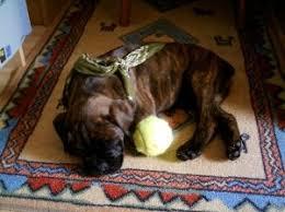 incrocio border collie x australian shepherd deanna holmes u2013 dog
