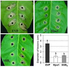 Plant Disease Journal - a highly conserved single stranded dna binding protein in