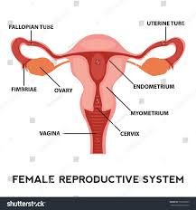 Anatomy Of Female Reproductive System Female Reproductive System Image Diagram Stock Vector