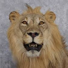 lion heads for sale lion mount for sale 12505 the taxidermy store