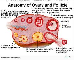 Pregnant Female Anatomy Diagram If You Insert Strong Water In The Can Eggs In The Ovaries