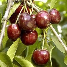 Cherry Tree Fruit - bare root craig u0027s crimson cherry tree semi dwarf groworganic com
