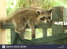 Louisiana wild animals images A wild raccoon on my back porch in new orleans louisiana wher jpg
