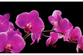 purple orchids mural purple orchids with black background
