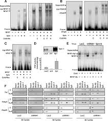 Flag Complex Lipin 1 Forms A Complex With Both Nfatc4 And Ppar On Dna In Vitro