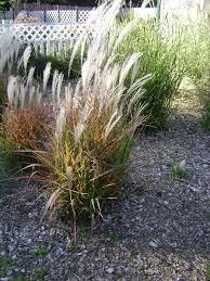 grass outdoor ideas up grasses