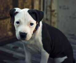 american pit bull terrier life expectancy american pit bull terrier an easygoing good natured loyal and