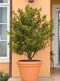 potted patio trees houzz