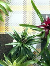 pineapple plant the of plants